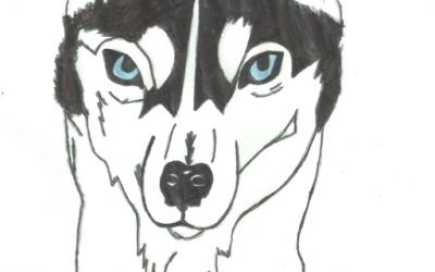 A drawing of a husky by Olivia from room 30